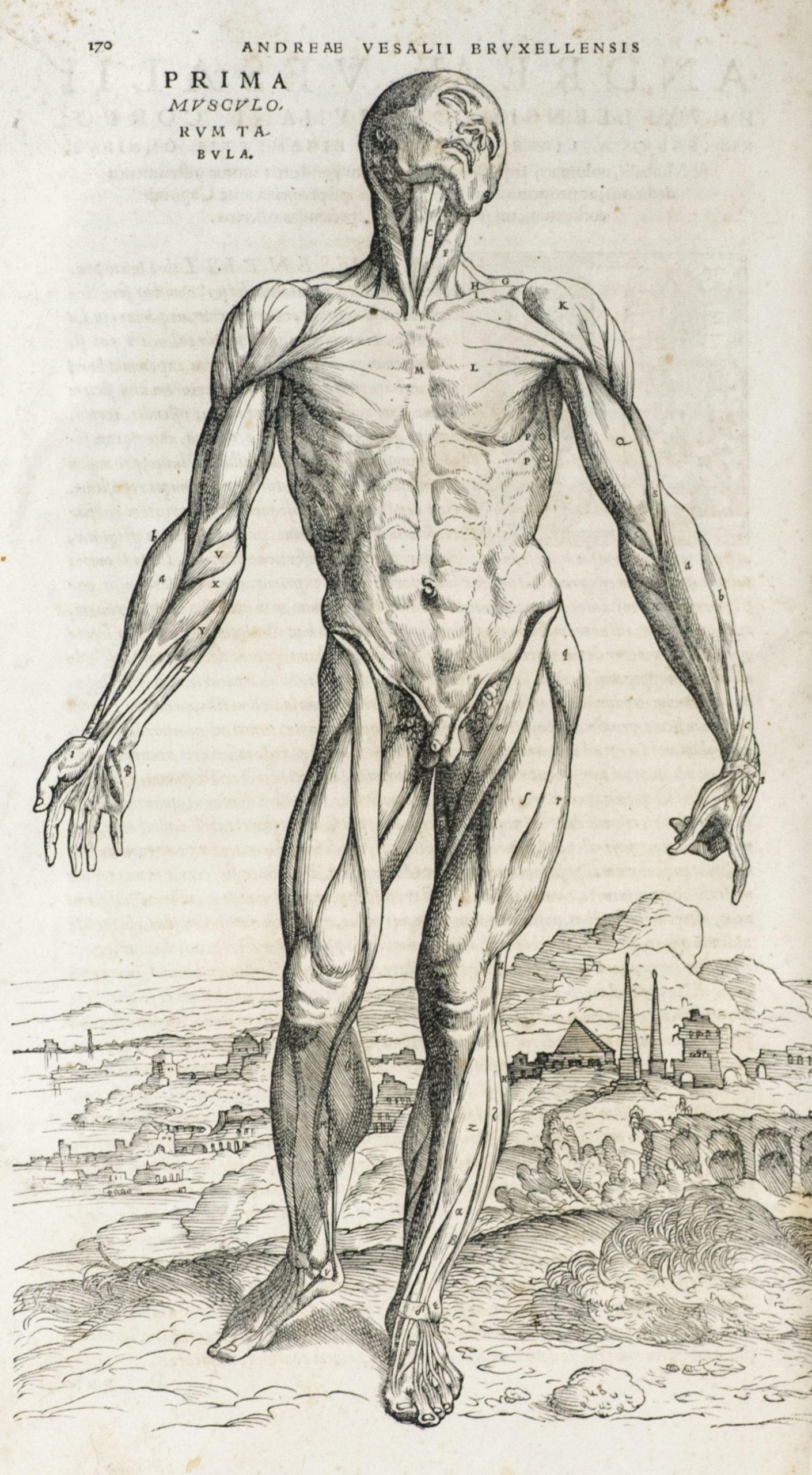 Table anatomique (gravure de Jan Van Calcar) du traité d'André Vésale De Humani corporis fabrica, 1543.